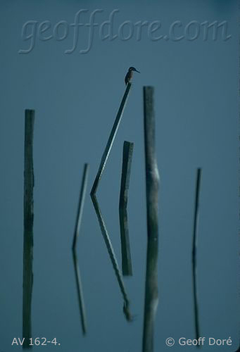Kingfisher on wooden posts