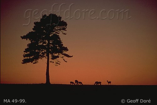 Fallow Deer and Scots Pine tree at dusk, New Forest, England