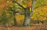 Ancient Beech tree in autumn, England