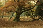 Beech tree in autumn, New Forest, England