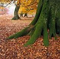 Beech tree buttress roots, autumn, England