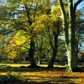 Beech wood in autumn, England
