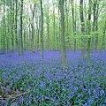 Bluebells in Beech wood, England