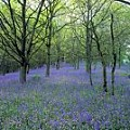 Bluebell wood, Scotland