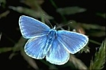Common Blue Butterfly, England