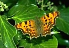 Comma Butterfly, England
