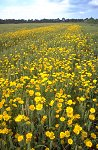 Corn Marigolds in wheat crop, England