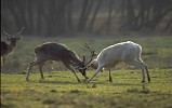 Fallow Deer bucks fighting