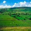 Pastoral farmland and dairy cattle, Lancashire, England