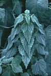 Frosted Stinging Nettle plant