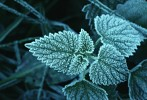 Frost-covered Stinging Nettle leaf