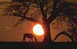 New Forest pony and Oak tree silhouetted with setting sun