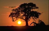 English Oak tree in summer, silhouetted with setting sun