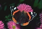 Red Admiral Butterfly, England