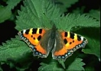 Small Tortoiseshell Butterfly, England
