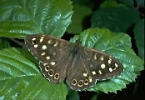 Speckled Wood Butterfly, England