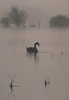 Mute Swan on misty floodmeadow