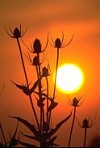 Teasel flower-heads silhouetted with setting sun