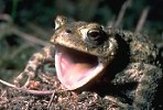 Common Toad with mouth agape