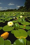White Water-lilies covering pond surface